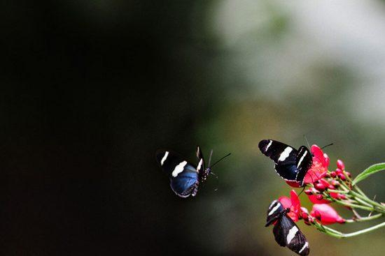 Butterflies Costa Rica