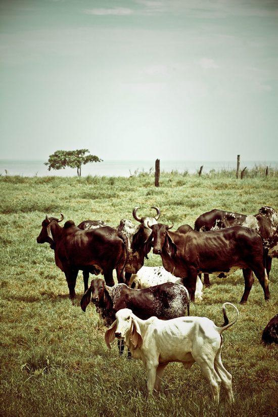 Cows Costa Rica