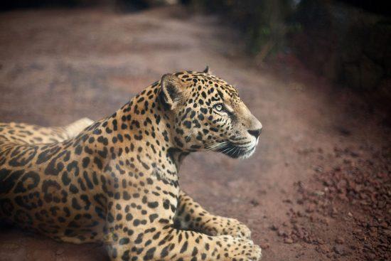 Jaguar Costa Rica Wildlife