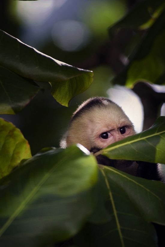 Monkeys Manuel Antonio Costa Rica