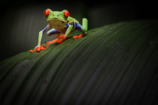 Red Eye Leaf (Tree) Frog Costa Rica