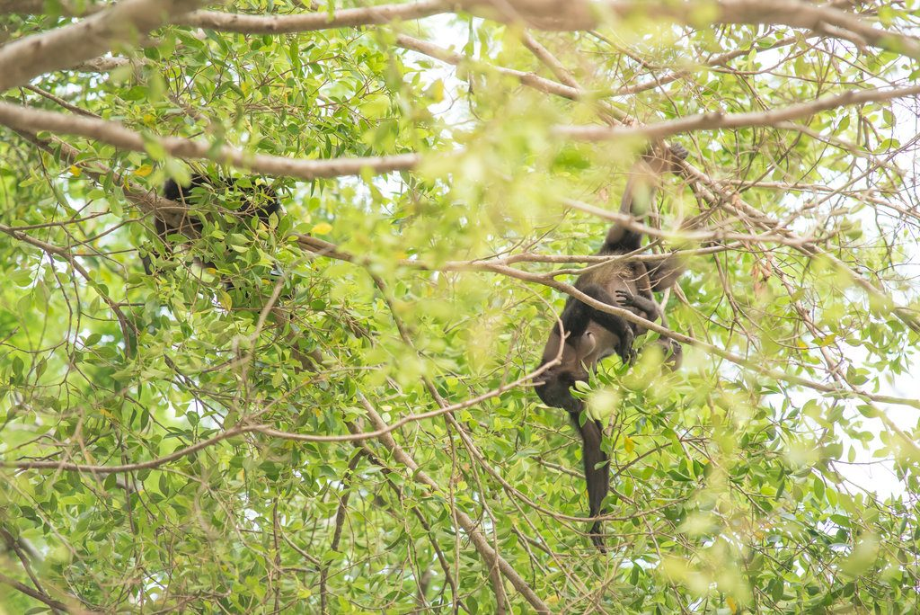 monkey in the trees at panags beach club